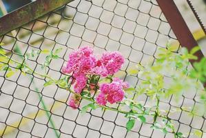 kleine roze rozen in het hek