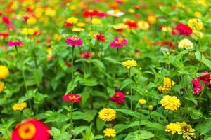 close-up van kleurrijke zinnia foto