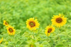zonnebloemen in een groen veld
