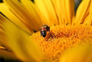 bijen bestuivende zonnebloem