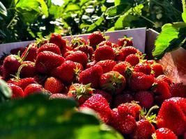 vers geplukte aardbeien