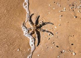 zwarte zeester op bruin zand foto