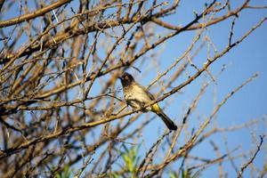 Afrikaanse vliegenvanger vogel