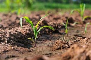 kleine groene maïsplant foto