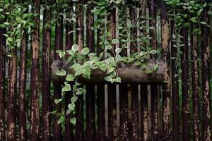 klimop groeit op een logboek foto