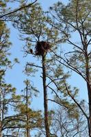 bald eagle op zijn nest in de boom
