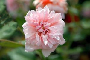 roze roos in de tuin