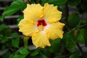 gele hibiscusbloem foto