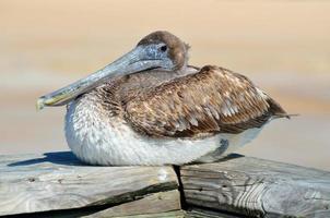 rustende bruine pelikaan
