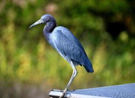 blauwe zilverreiger in florida