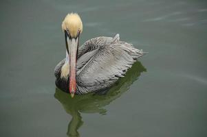bruine pelikaan zwemmen foto