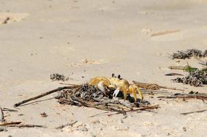 zandkrab op het strand