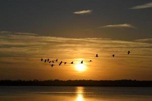 reigers die bij zonsondergang vliegen