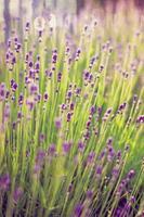 bloeiende lavendel in de tuin foto