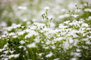 witte bloemen van stellaria holostea foto