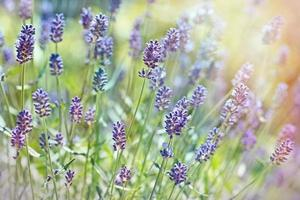 prachtige lavendelbloemen foto