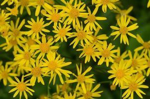 cluster van gouden Jakobskruiskruid bloemen foto