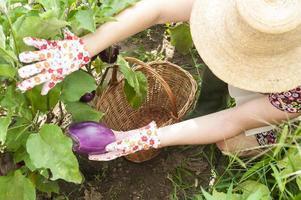 persoon die een aubergine in de tuin verzamelt foto