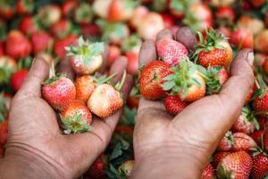 verse aardbeien in de handen foto