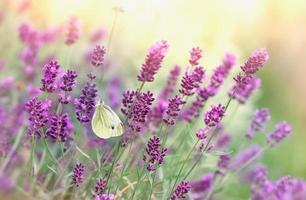 vlinder op lavendelbloem foto
