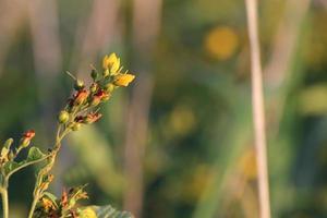 gele kattestaart bloeit foto