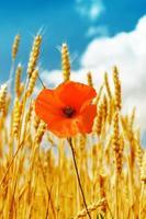 rode papaver in gouden oogst onder blauwe hemel foto