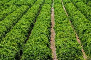 sinaasappelboomgaarden in spanje foto