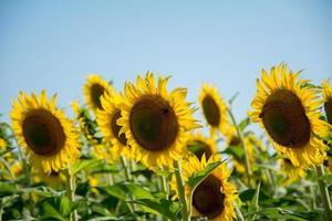 zonnebloem op het veld