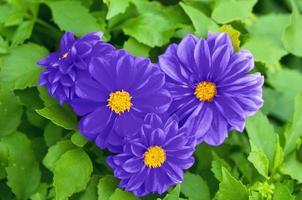 hart van de prachtige blauwe bloemen in de natuur foto