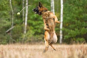 Duitse herdershond springen in de herfst foto
