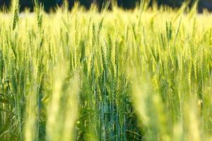 groene gerstachtergrond foto