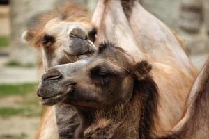 binnenlandse bactrische kameel (camelus bactrianus). foto