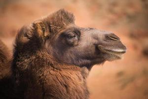 hoofd bactrische kamelen foto