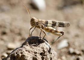 sprinkhanen in het woestijnveld foto