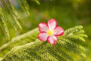 woestijnroze bloemen op groene stekelige takken.