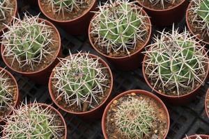 cactus in een pot foto