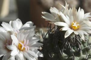 bloeiende turbinicarpusplanten foto