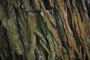 schors boom textuur in de natuur foto