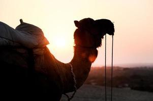 silhouet van kameel foto