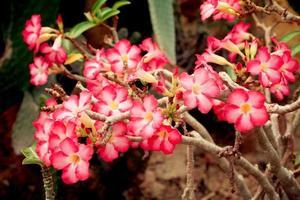 adenium obesum, roze woestijnroos bloeit in thailand