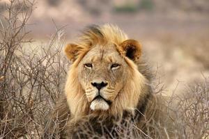 grote mannelijke Afrikaanse leeuw