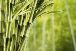 bamboe met bosachtergrond