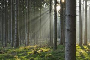 zonnestralen in natuurlijk sparrenbos foto
