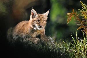 Euraziatische lynx in bos foto