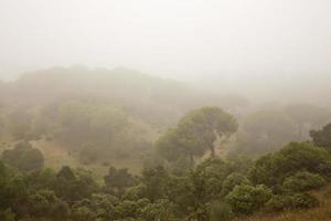 dennenbos gehuld in mist foto