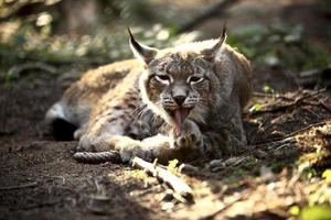 lynx in het bos foto