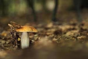 boletus paddestoel in het bos foto