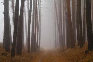 dennen in het bos met ochtend foto