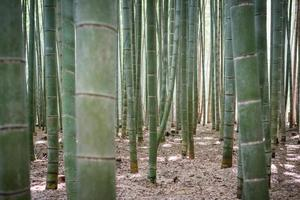 bamboebos in japan