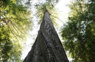 redwood sequoia spiraalvormige stam foto